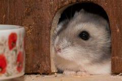 O hamster doce do anão olha fora do esconderijo imagem de stock