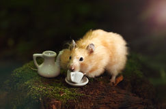 O hamster dourado está bebendo o café na manhã na floresta Fotos de Stock