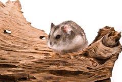 O hamster pequeno foto de stock