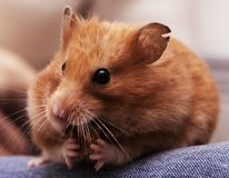 O hamster sírio senta-se nos joelhos e nas porcas da mordidela foto de stock