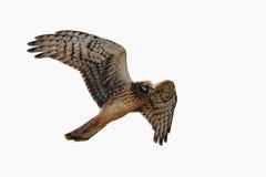 O Harrier do norte é crescente no ar, isolado Fotos de Stock Royalty Free