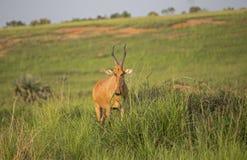 O Hartebeest de Lichtenstein no savana africano foto de stock