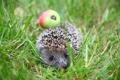 O Hedgehog foto de stock