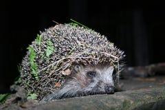 O hedgehog anda na noite Fotografia de Stock Royalty Free