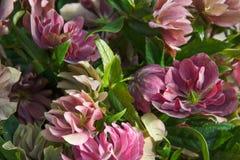 O helleborus vermelho e cor-de-rosa bonito floresce o close up na luz solar fotos de stock royalty free