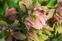 O helleborus vermelho e cor-de-rosa bonito floresce o close up na luz solar fotografia de stock