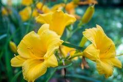 O hemerocallis amarelo floresce lilioasphodelus do Hemerocallis Foto de Stock