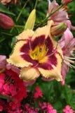 O hemerocallis da sundae do mirtilo abre em um jardim do verão foto de stock