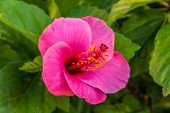 O hibiscus cor-de-rosa Fotos de Stock