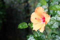 O hibiscus ou China aumentaram Imagem de Stock Royalty Free
