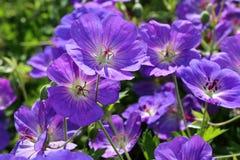 O himalayense do gerânio é um gerânio largo-crescente com as flores roxas azuis bonitas Foto de Stock