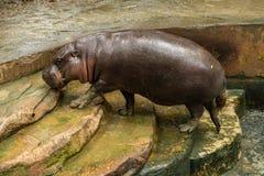 O hipopótamo do pigmeu é um hippopotamid pequeno fotografia de stock