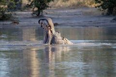 O hipopótamo grande irritado, amphibius do hipopótamo, defende o território, no parque nacional de Moremi, Botswana imagens de stock
