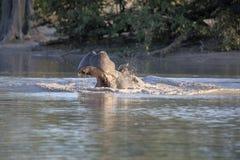 O hipopótamo grande irritado, amphibius do hipopótamo, defende o território, no parque nacional de Moremi, Botswana fotografia de stock royalty free
