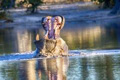 O hipopótamo grande irritado, amphibius do hipopótamo, defende o território, no parque nacional de Moremi, Botswana fotos de stock royalty free