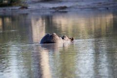 O hipopótamo grande irritado, amphibius do hipopótamo, defende o território, no parque nacional de Moremi, Botswana imagens de stock royalty free