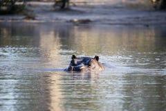 O hipopótamo grande irritado, amphibius do hipopótamo, defende o território, no parque nacional de Moremi, Botswana fotos de stock