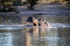 O hipopótamo grande irritado, amphibius do hipopótamo, defende o território, no parque nacional de Moremi, Botswana foto de stock