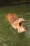 O hipopótamo quer come Fotografia de Stock