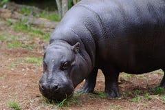 O hipopótamo do pigmeu olha a câmera Fotografia de Stock Royalty Free