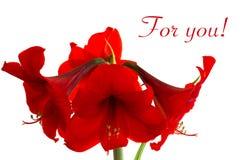 O hippeastrum vermelho Imagem de Stock Royalty Free