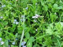O hirta de Tropinota Epicometis do besouro senta-se em chamaedrys de um Veronica da flor do azul entre a grama de prado Imagem de Stock