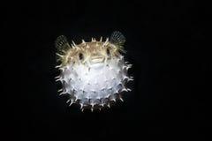 O holocanthus do Diodon dos peixes do soprador do balão soprou acima fotografia de stock