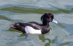O homem adornou o pato (fuligula do Aythya) em japão em um lago imagens de stock royalty free
