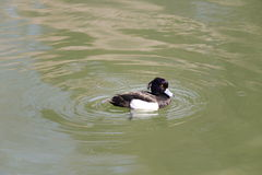 O homem adornou o pato (fuligula do Aythya) em japão em um lago fotografia de stock royalty free