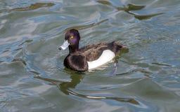 O homem adornou o pato (fuligula do Aythya) em japão em um lago foto de stock