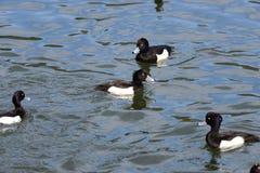 O homem adornou o pato (fuligula do Aythya) em japão em um lago imagens de stock