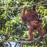 O homem adulto do orangotango na natureza selvagem Ilha carregada Imagem de Stock