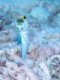 O homem Amarelo-dirigiu ovos da ninhada da boca do Jawfish, Bonaire, Dutch Antilhas Foto de Stock Royalty Free