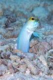 O homem Amarelo-dirigiu ovos da ninhada da boca do Jawfish, Bonaire, Dutch Antilhas Imagens de Stock
