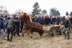 O homem chicoteia um cavalo decorado que puxa um carro de madeira, antes de uma corrida de cavalos da celebração do esmagamento imagens de stock royalty free