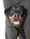 O homem com um Rottweiler no estúdio. Imagem de Stock