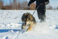 O homem corre com wolfdog na trela na neve Fotos de Stock Royalty Free