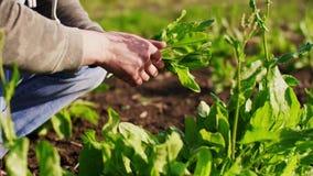 O homem do fazendeiro rasga a azeda das camas e recolhe as folhas em um grupo video estoque
