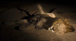 O homem do leão com juba enorme coloca para descansar na areia na escuridão fotos de stock royalty free