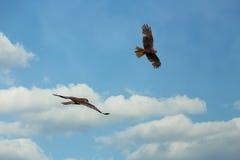 O homem e a fêmea ocidentais do harrier de pântano Imagens de Stock Royalty Free