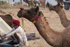 O homem e os camelos Fotos de Stock Royalty Free