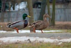 O homem e os patos selvagens selvagens fêmeas andam junto abaixo de uma rua na estrada pública fotos de stock royalty free