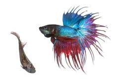 O homem e os peixes de combate Siamese fêmeas em um corte dançam Foto de Stock