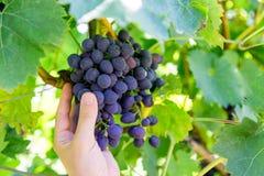 O homem escolhe uvas Fotos de Stock