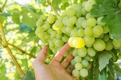 O homem escolhe uvas Fotografia de Stock Royalty Free