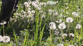 O homem está segando com grama fresca da foice com dentes-de-leão macios em um prado na manhã ensolarada da mola ou do verão vídeos de arquivo
