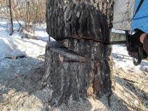 O homem está tentando despejar uma árvore grossa pela tecnologia, cortando partes dela fotografia de stock royalty free
