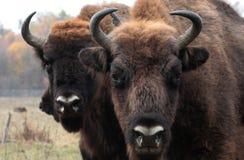 O homem grande do bisonte europeu está na floresta do outono Foto de Stock