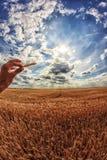 O homem guarda as orelhas de milho em sua mão Um trigo do campo no fundo Fotografia de Stock