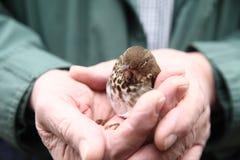 O homem guarda o pássaro juvenil Imagens de Stock